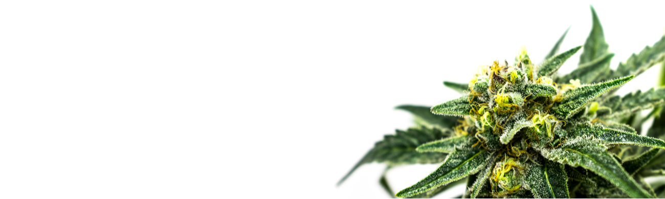 A cannabis plant in the corner of a white template